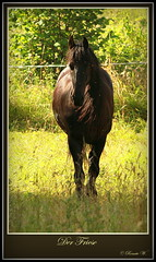 Black Beauty (Renata1109) Tags: tiere sommer pferde friese edlestier edlepferde