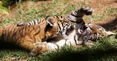 Raise Your Paw If You're Sure (greekgal.esm) Tags: california baby animal cat mammal cub feline sony tiger bigcat sumatrantiger sandiegozoo safaripark carnivore escondido tigertrail sal70300g sandiegozooglobal endextinction a77m2 a77mii