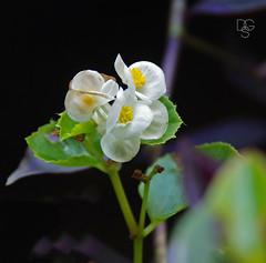 Compact Innocence (DGS Photography) Tags: missouri branson silverdollarcity flower bloom blossoms white compactinnocence nemesiafruticans annual