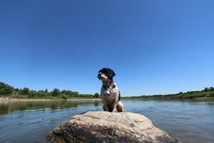 Canine Coast Guard (SOTC 206/365) (gina_blank) Tags: blue summer sky dog pet water animal rock stone river outdoors centre wideangle canine symmetry saskatoon saskatchewan southsaskatchewanriver rivervalley havanese sotc