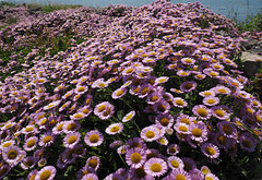profusion (Johnson Cameraface) Tags: pink summer holiday flower portland july olympus dorset f28 portlandbill em1 2016 1240mm micro43 mzuiko johnsoncameraface omde1
