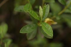 Rhododendron lepidotum Wallich ex G. Don (4) (siddarth.machado) Tags: east rhododendron lachen northsikkim himalayanflora