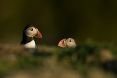 Puffins (Markp33) Tags: