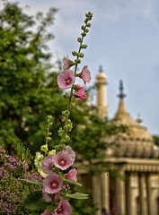 Hollyhock (Through Bri`s Lens) Tags: sussex brighton theroyalpavilion hollyhock flowers cultivation brianspicer canon5dmk3 canon24105f4l
