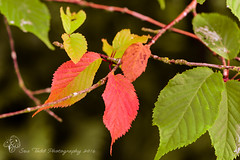 Autumn Leaves in July? (Sue_Todd) Tags: autumnleaf autumnleaves colours garden green july leaf leaves months red reds suetodd suetoddphotography summer vegetation czerwony greenish greens greeny groen grn grn grnn grn punainen rod rojo rood rosso rot rouge verdajn verde vermelho vert vihre yeil zielony