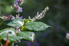 Wonderful nature (Janne Fairy) Tags: bltter leafs leaf violet lila flower blumen garden garten outdoor canon canon500d eos eos500d depthoffield schrfentiefe regentropfen raindrop