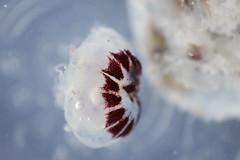 _MG_9324 (sanchezalan98) Tags: macrofotografa macro animal animallover sea medusa