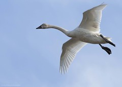 Tundra Swan AR (martinaschneider) Tags: swan tundraswan flight flying bird birds aylmer ontario spring bluesky