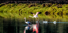""" Carrera de despegue"" (ibzsierra) Tags: ibiza eivissa baleares canon 7d 2100400 is usm flamenco flamingo ave bird oiseau salinas pareque natural"