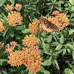 Butterfly Weed and Monarch (Stick Hick) Tags: rlcline butterflyweed prisma monarch