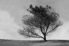 La Frontera (arena.rodrigo) Tags: la fontera pinamar argentina rbol pine tree pino playa cielo sky