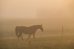 Horse in the Mist (Infomastern) Tags: sdersltt countryside dimma fog horse hst landsbygd landscape landskap mist soluppgng sunrise exif:model=canoneos760d geocountry exif:focallength=110mm camera:make=canon exif:isospeed=100 camera:model=canoneos760d geostate geolocation exif:lens=efs18200mmf3556is geocity exif:aperture=56 exif:make=canon