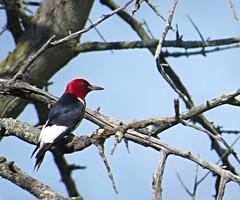 Red-headed Woodpecker 3 (Linda in Namibia) Tags: uppervillevirginia virginia birds
