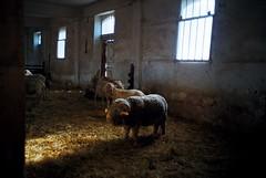 Ultralight beam (Schoenborn) Tags: wool laine mouton sheep france rambouillet bergerie nationale light beam