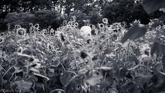 PS_82693-4 (Patcave) Tags: portraits atlanta cumming georgia anderson sunflower farm photo shoot model sylvia portrait lights color 5d3 canon patcave sigma f14 35mm 85mm art outdoors nature beauty cute sunflowerfarm flower daikon white radish