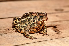The Visitor (Cindy's Here) Tags: toad biggon big bumpy nature billsoldamethystmine pearl ontario canada canon takeaim