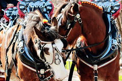 IMG_7167 (Click. Boom.) Tags: horse horses drafthorses clydesdales carton beer brewery horseandcart driving