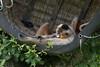 Lounging around is tiring (vic_sf49) Tags: vicsf49 uk england dorset monkeyworld cronin