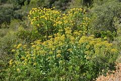 Bupleurum fruticosum (esta_ahi) Tags: torrellesdefoix bupleurum fruticosum bupleurumfruticosum umbelliferae apiaceae flor flora flores silvestres yellow peneds barcelona spain espaa