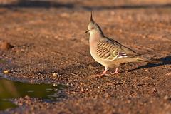 Crested Pigeon (Luke6876) Tags: crestedpigeon pigeon bird animal wildlife australianwildlife