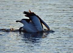 Looking for fish (Luke6876) Tags: australianpelican pelican bird animal wildlife australianwildlife water