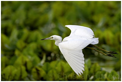 little blue heron (Christian Hunold) Tags: littleblueheron heron wadingbird bird blaureiher bokeh johnheinznwr philadelphia christianhunold