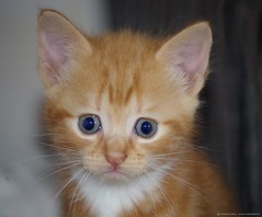 kitten cute (Simon Dell Photography) Tags: kitten cute awsome ginger ref crying sad