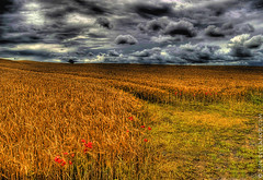 We'll Walk In Fields Of Gold (sbox) Tags: corn field kildare ireland sky hdr clouds poppies dramatic sting evacassidy fieldsofgold barley landscape