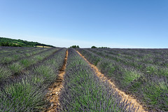 Valensole 08 (mpetr1960) Tags: valensole france lavender grass green sky row perspective nikon d800 nikond800
