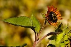Closing out Fall (Karen McQuilkin) Tags: gardens ogden utah flower autumn karenmcquilkin closingoutfall