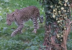 Luipaard (ditmaliepaard) Tags: luipaard hilvarenbeek a6000 sony safaripark beeksebergen