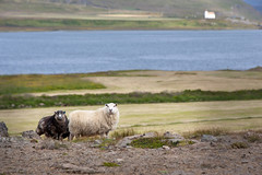 Two Sheep _5378 (hkoons) Tags: northwesticeland skagipeninsula westfiords westfjords barbedwire fence iceland animals bay caged corral farm fenced fencing fiord fjord grass graze grazing green greens inlet island lamb mammal north saltwater sea sheep water wool