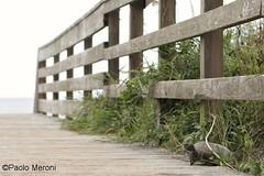 Gopher tortoise (Gopherus polyphemus) - www.paolomeroni.com (www.paolomeroni.com) Tags: gophertortoise tartaruga testuggine testugginedigopher endangered rare dune sabbia sand florida beach daytonabeach spiaggia oceanoatlantico atlanticocean iucn ngc nikonflickraward paolomeroni wwwpaolomeronicom wwf ambientata passerella reptile reptilia rettili catwalk