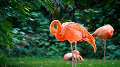 Flamingo II - Stadtgarten Karlsruhe, Germany (Sebastian Bayer) Tags: mc14 bokeh citygarden stadtgartenkarlsruhe 4015028 dof grün vogel natur micro43 nature outdoor ausflug blätter karlsruhe animal garden leafes drausen green flamingo outside tier omdem5ii bird garten trip zoo mft stadtgarten olympus omd