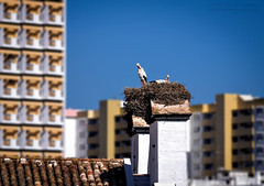 Nesting in the City - White Stork / Cegonha-branca (Ciconia ciconia) (Mark & Cy Photos) Tags: aerial angle animal animalia apartment architecture background beast bell bird block blue blurred building center church ciconia ciconiiformes city cityscape clock composition couple crafts detail element environmental exterior facility feather flat focus framing front horizontal landscape life light lighting live natural nest outdoor partner photo photography place population relationship residential roof setting site sky skyline stork storks structure style top tower town travel urban view weather white wild wildlife worldartscraftsphotographysettingskylinecityscapeexterioroutdoorphotogenrestyletypeurbanphotgraphywildlifetravelorientationlandscapelightingnaturallightframingcompositiondetailenvironmentalformathorizontalfocusbackgroundblurr