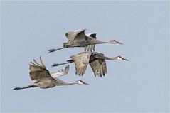 Sandhiil Crane ( Fly-By ) (billkominsky ) Tags: naturethroughthelens ngc