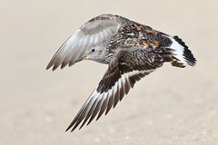 Surfbird (bmse) Tags: surfbird orange county beach flying