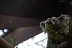 Koala lunch (sz1507) Tags: profonditdicampo toeat snack mangiare eating vegetariano dieta diet food leaves foglie dolcezza sweetness peluche grey ears pairidaiza2016 d60 nikond60 belgio belgique belgium mammals animals bruxelles brugelette jardindumonde pairidaiza pianta ramo eucalipto pranzo fluffy lunch koala