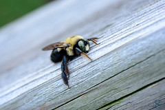 271:365 - 10/13/2016 - Bee (Shardayyy) Tags: 365 365project project365 nikon d800 potd photoaday 60mm bee shardayyyphotography shardayyyyphotographycom