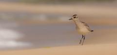 IMG_5328 (Simonas Minkeviius) Tags: pluvialissquatarola greyplover plover seashore lithuaniannature curonianspit juodkrant shorebird bird ngc npc
