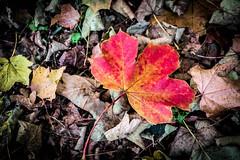 The Outsider (bobbybee2000) Tags: fujixt10 autumn outdoor herbstfarben autumncolors sheet europe shades light schatten licht wald bltter goldenautumn goldenerherbst forest
