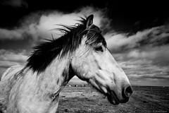 Portrait of an Icelandic Horse (michael.mu) Tags: leica m240 superelmarm21mmf34asph iceland horse bw blackandwhite silverefexpro hella icelandichorse monochrome