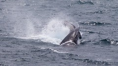 Twisted tail slap (Geoff Main) Tags: australia canon7dmarkii canonef300mmf28lisiiusm canonefextender20xiii humpbackwhale nsw nativeanimal nswsouthcoast whale