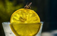 Uninvited - Backlit - Macro Mondays - in explore (PhilDL) Tags: backlit macromondays wasp lemon icedwater drink