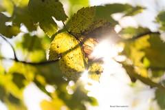 Light of Autumn (bernd obervossbeck) Tags: autumn autumnleafs autumnleaves herbst herbstfarben herbstbltter licht light natur nature gegenlicht backlight fujixt1 berndobervossbeck
