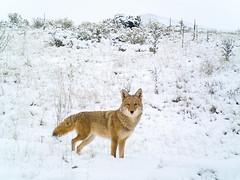 Coyote (mhawkins) Tags: coyote yard