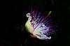 cappero (nikdanna) Tags: flower color nature closeup natura fiore colori primopiano caper interno7 cappero nikdanna