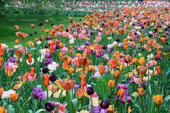 Keukenhof - Heaven on Earth (grce) Tags: flowers plants flower holland netherlands dutch garden spring colorful tulips tulip flowering colored flowergarden