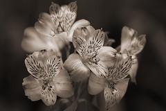 (Julia C. F) Tags: flowers monochrome sepia alstroemeria peruvianlily astromelia