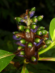 ID please (Ecuador Megadiverso) Tags: naturaleza flower macro southamerica nature fleur ecuador flora wildlife natur flor equateur blume makro fiore equador biodiversity biodiversidad sdamerika neotropical id90 neotropics andreaskay